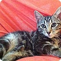 Adopt A Pet :: Triscuit - Reston, VA