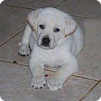Adopt A Pet :: Bailey - Minneola, FL