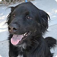 Adopt A Pet :: Shadow - Brattleboro, VT