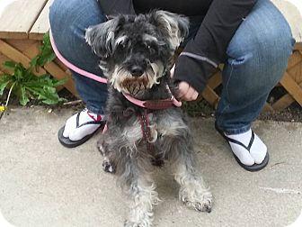 Schnauzer (Standard) Mix Dog for adoption in Clarkston, Michigan - Casey