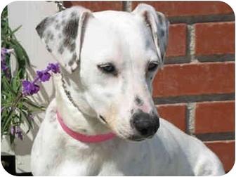 Dachshund/Dalmatian Mix Dog for adoption in Harbor City, California - MyrnaPaloma