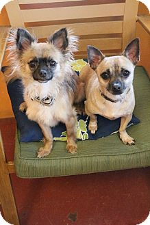 Chihuahua Mix Dog for adoption in New Orleans, Louisiana - Jack