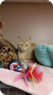 Domestic Shorthair Cat for adoption in Sterling Heights, Michigan - Mascato