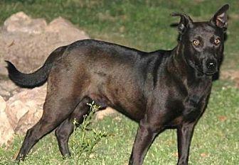 Shar Pei/Labrador Retriever Mix Dog for adoption in Cleburne, Texas - Bernie