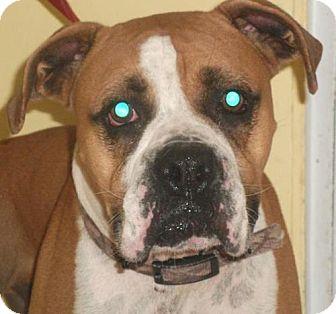 Boxer Dog for adoption in Newburgh, Indiana - Bosco- Sweet !