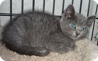 Russian Blue Kitten for adoption in Dallas, Texas - Lucy