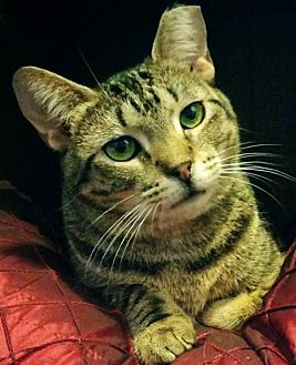 Domestic Shorthair Cat for adoption in Brooklyn, New York - Vicki, So Sweet and Silly