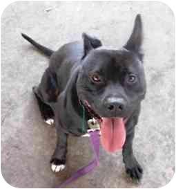 Cattle Dog/American Pit Bull Terrier Mix Dog for adoption in Berkeley, California - Rupert
