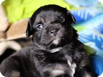 Terrier (Unknown Type, Medium) Mix Puppy for adoption in Minneapolis, Minnesota - Carter