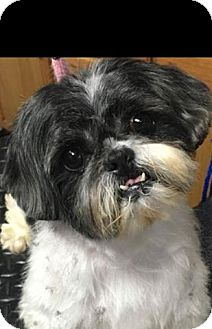 Shih Tzu Mix Dog for adoption in Franklin, Tennessee - Petals