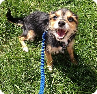 Chihuahua/Yorkie, Yorkshire Terrier Mix Dog for adoption in Freeport, New York - Lola