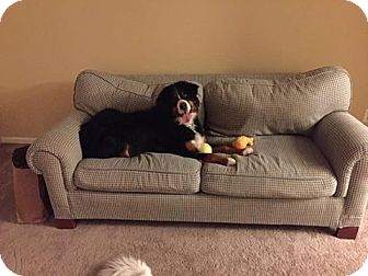 Bernese Mountain Dog Dog for adoption in morrisville, Pennsylvania - Bron