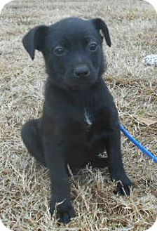Rat Terrier/Miniature Pinscher Mix Puppy for adoption in Allentown, New Jersey - Tiara