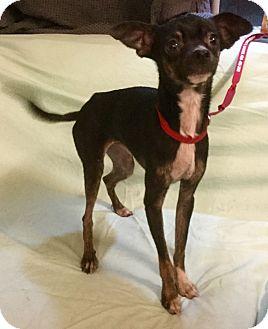 Miniature Pinscher/Italian Greyhound Mix Dog for adoption in Phoenix, Arizona - Moe