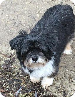 Lhasa Apso Dog for adoption in Homer Glen, Illinois - Gigi