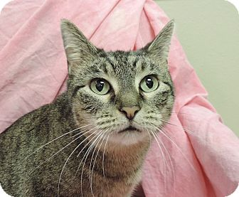 Domestic Shorthair Cat for adoption in Sioux City, Iowa - GROWLIE