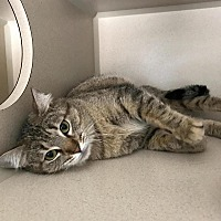 Adopt A Pet :: Sue Shi - Canyon Country, CA