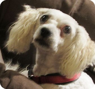 Poodle (Miniature)/Maltese Mix Dog for adoption in Fremont, California - Chloe