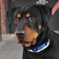 Adopt A Pet :: Samuel - Richmond, VA