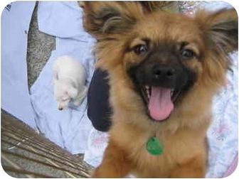 Pomeranian/Pekingese Mix Puppy for adoption in Beverly Hills, California - Chester