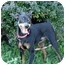 Photo 3 - Miniature Pinscher Dog for adoption in Brockton, Massachusetts - Jett