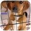 Photo 4 - Beagle/Labrador Retriever Mix Puppy for adoption in Floyd, Virginia - Mickey - Peggy's Pup