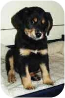 Rottweiler Mix Puppy for adoption in Windham, New Hampshire - Kobe