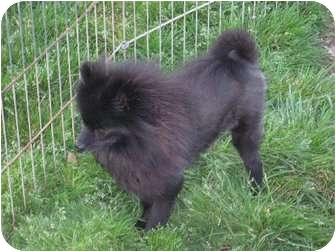 Pomeranian Dog for adoption in Allentown, Pennsylvania - Jerry Lee