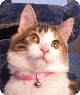 Calico Kitten for adoption in Winchester, California - Peach