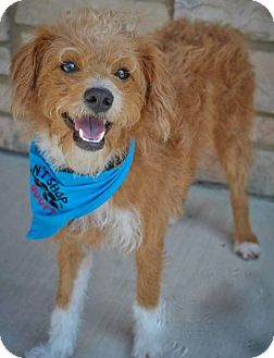 Poodle (Miniature) Mix Dog for adoption in Norwalk, Connecticut - Jovi