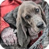 Basset Hound Dog for adoption in Barrington, Illinois - Mr. Peabody