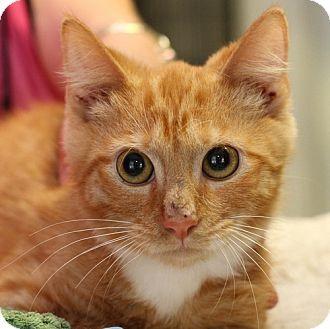 Domestic Shorthair Kitten for adoption in Winston-Salem, North Carolina - Andy