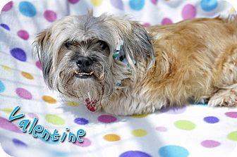 Lhasa Apso Mix Dog for adoption in Corpus Christi, Texas - Valentine
