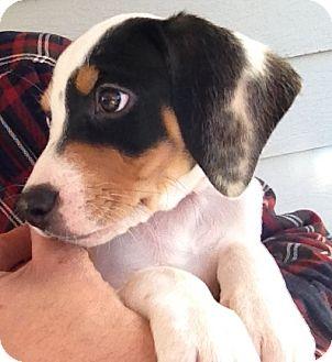 Beagle/Hound (Unknown Type) Mix Puppy for adoption in Richmond, Virginia - Huey
