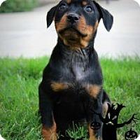 Adopt A Pet :: Lizzie - Justin, TX
