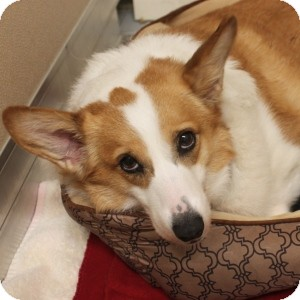 Corgi Mix Dog for adoption in Naperville, Illinois - Dot