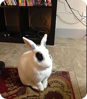 Dwarf Hotot Mix for adoption in Los Angeles, California - Frank