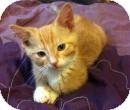 Domestic Shorthair Kitten for adoption in Hillside, Illinois - Duke