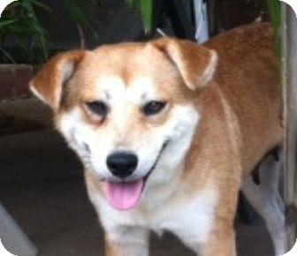 Labrador Retriever/Siberian Husky Mix Dog for adoption in Magnolia, Delaware - Gracie