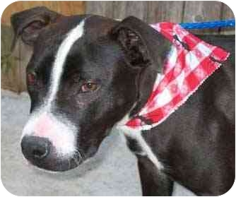 American Pit Bull Terrier Puppy for adoption in All of Colorado, Colorado - <b>Fabio</b>