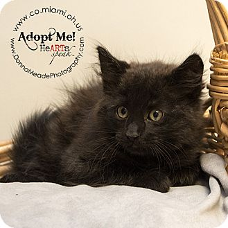 Domestic Mediumhair Kitten for adoption in Troy, Ohio - Greg Adopted