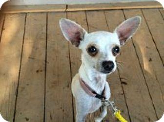 Chihuahua Mix Dog for adoption in Santa Ana, California - Rico