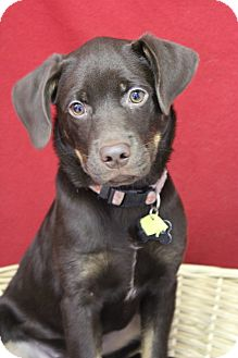 Labrador Retriever Mix Puppy for adoption in Waldorf, Maryland - Pudding