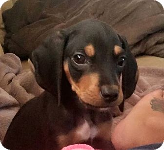 Coonhound Mix Puppy for adoption in Flushing, Michigan - Lacey Mae