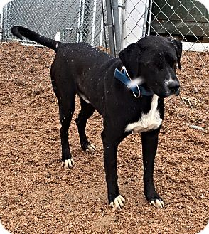 Labrador Retriever Mix Dog for adoption in Littleton, Colorado - WESSON