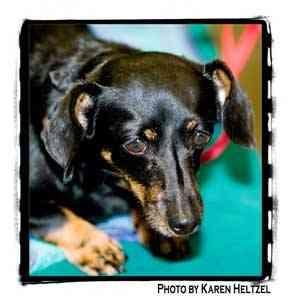 Dachshund Dog for adoption in Warren, Pennsylvania - Lexi