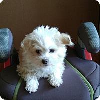 Adopt A Pet :: Bingley - Adoption Pending - Gig Harbor, WA
