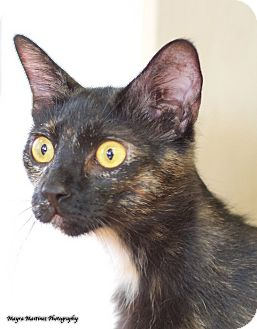 Domestic Shorthair Cat for adoption in Chattanooga, Tennessee - Galaxy