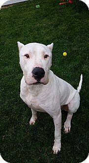 Dogo Argentino Dog for adoption in Cypress, California - Cash