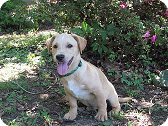 Terrier (Unknown Type, Medium)/Labrador Retriever Mix Puppy for adoption in Hartford, Connecticut - BRANT